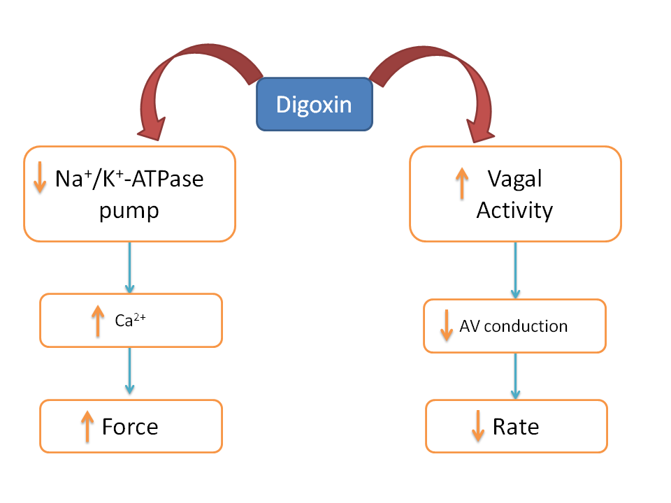 Digoxin increases force yet decreases rate of contraction of heart due to vagal activity