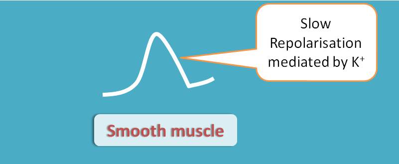 repolarisation in smooth muscle