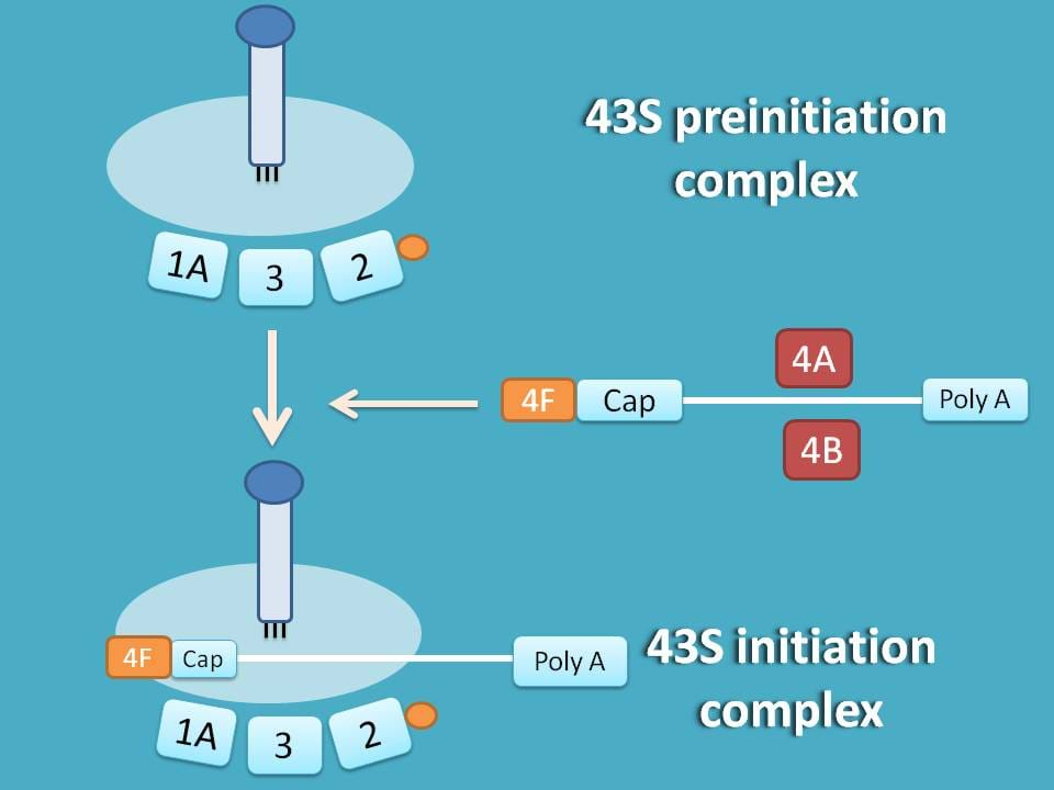 formation of 43S initiation complex