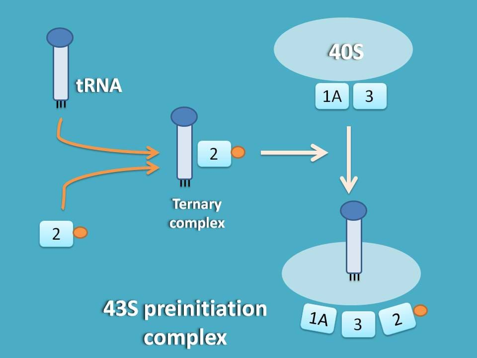 formation of 43S preinitiation complex
