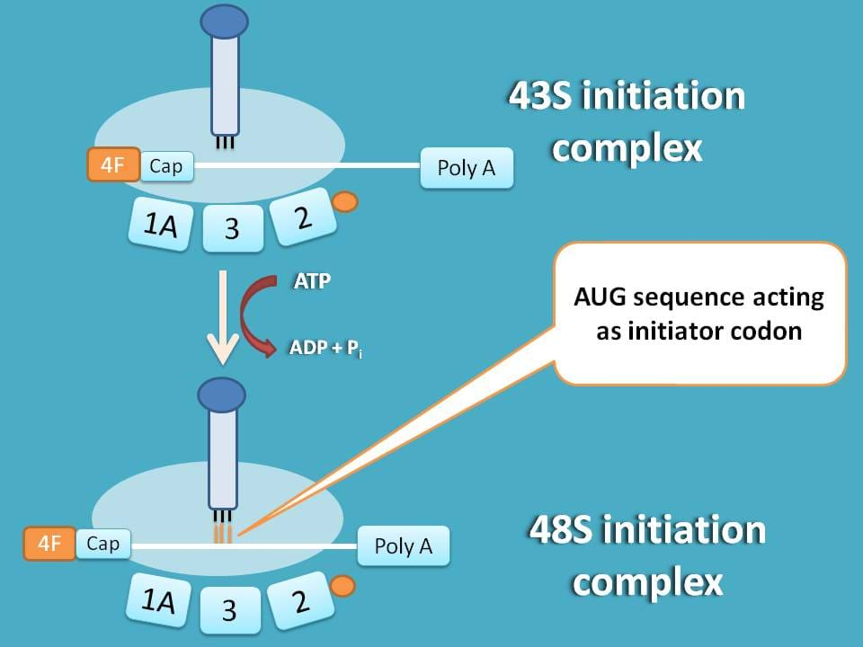 formation of 48S initiation complex