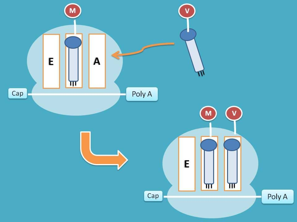 A and P site each with tRNA
