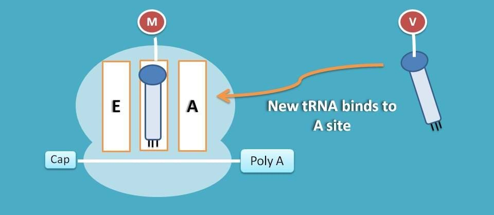 Attachment of tRNA to A site