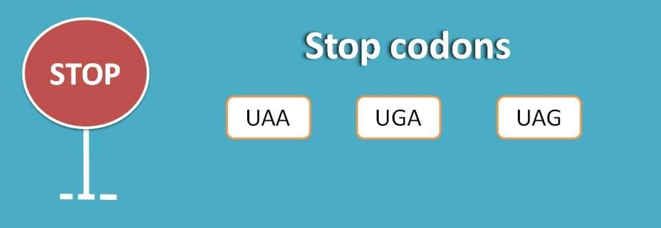 stop codons for translation