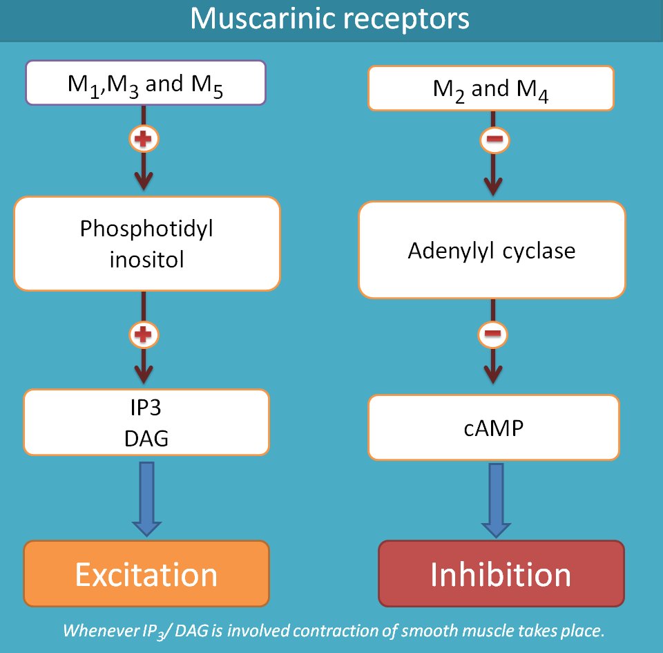 muscarinic acetylcholine receptors and secondary messengers