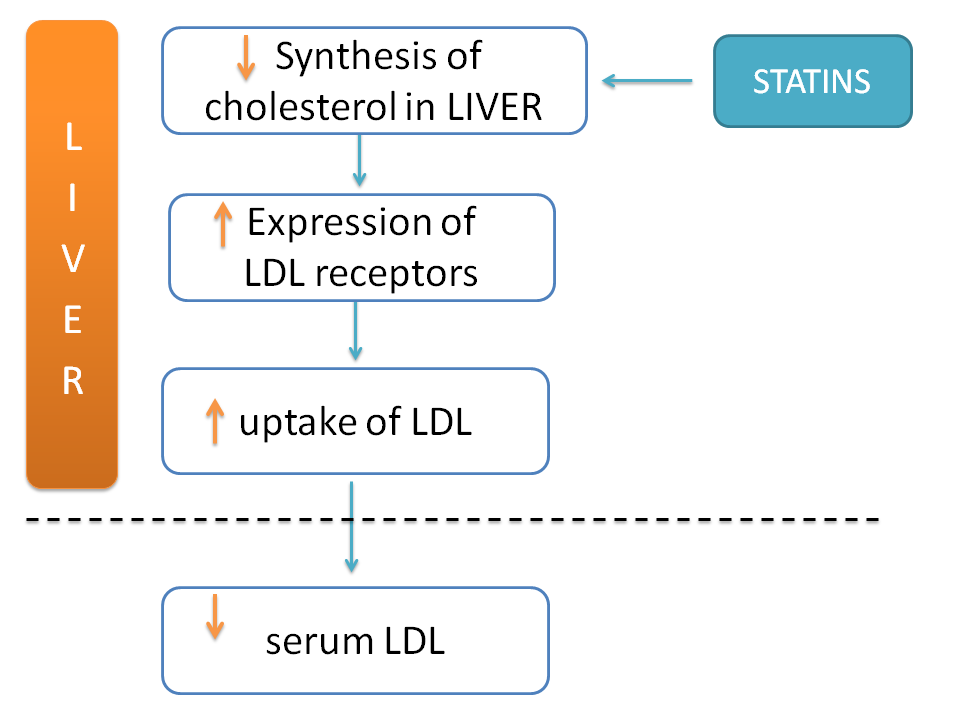 Inhibition of cholesterol biosynthesis by statins leads to uptake of LDL from serum into liver