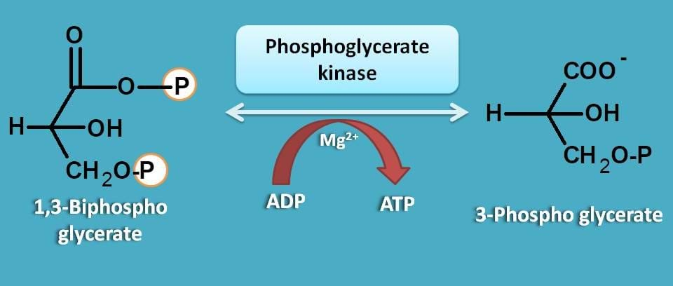 formation of 3-phosphoglycerate
