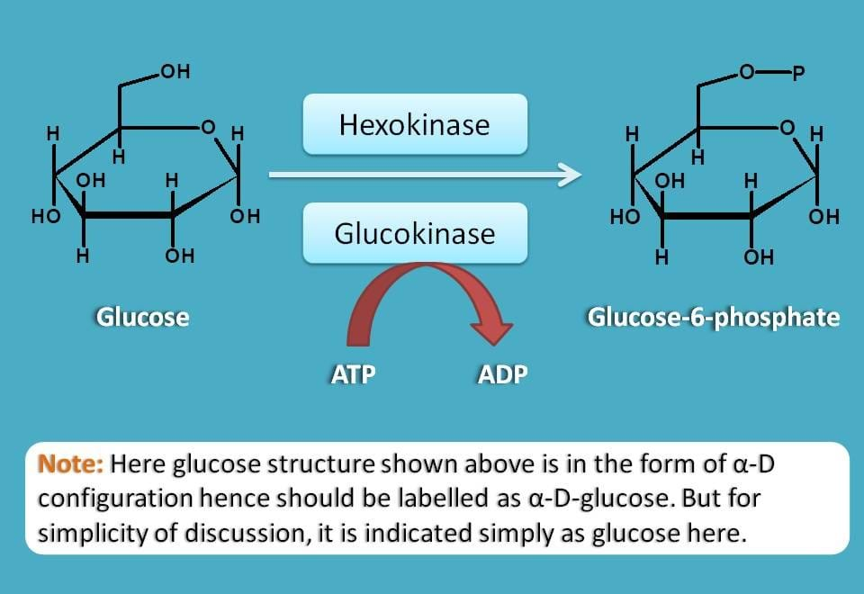conversion of glucose to G-6-P