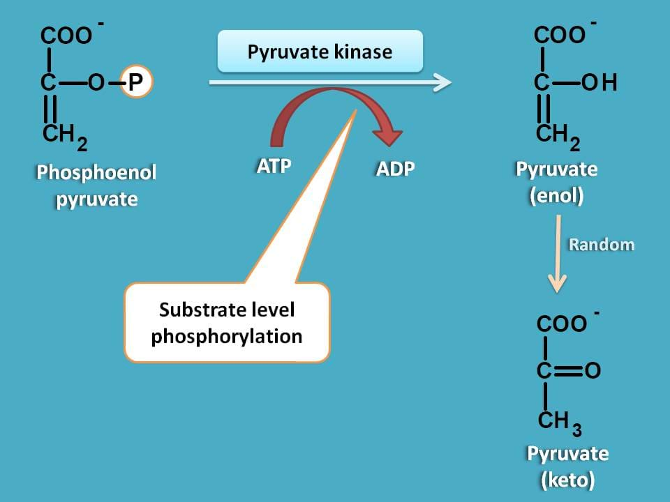 action of pyruvate kinase