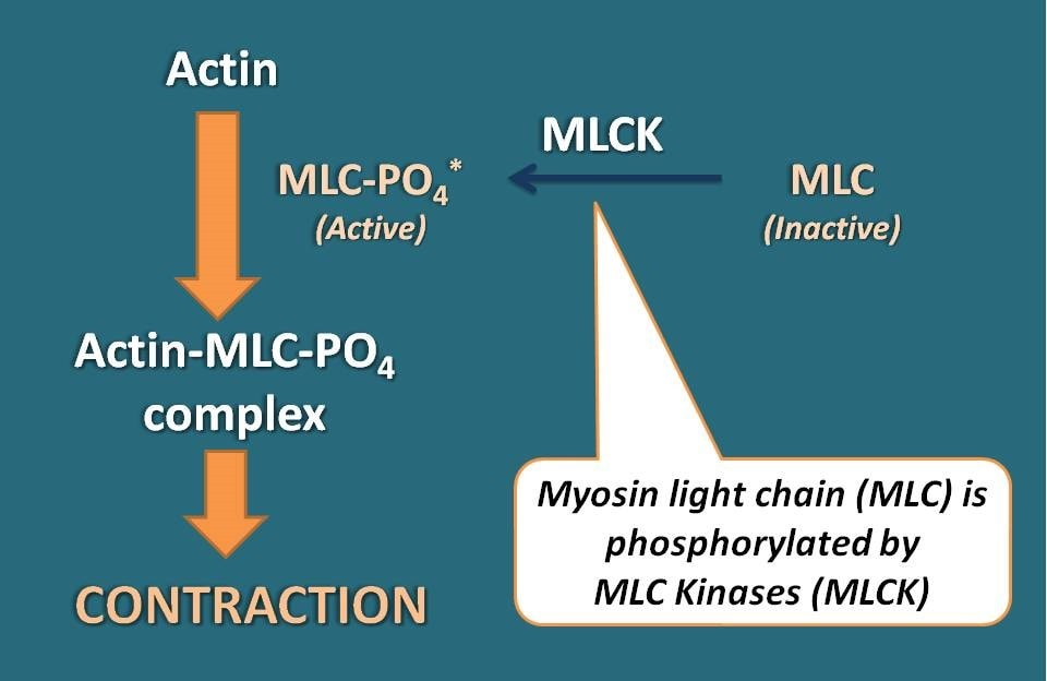 Role of MLCK in contraction of smooth muscle
