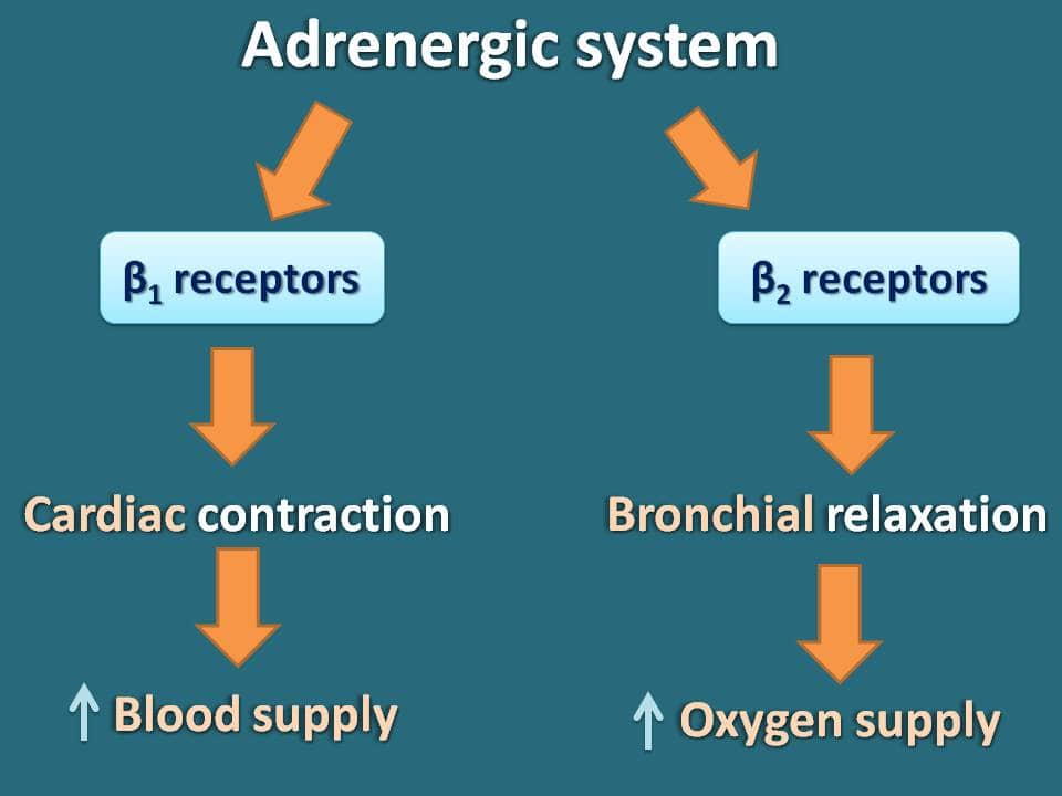 Dual role of cAMP in adrenergic system