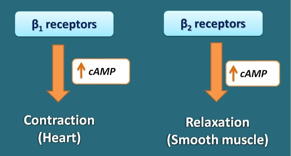 cAMP associated with beta 1 and 2 receptors