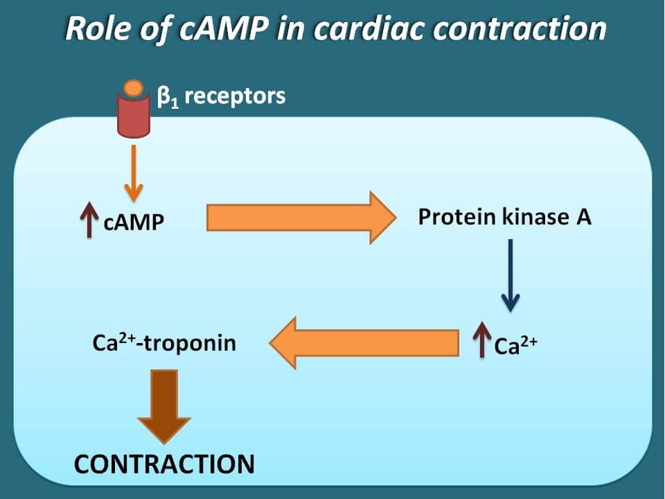 Contraction of heart by cAMP