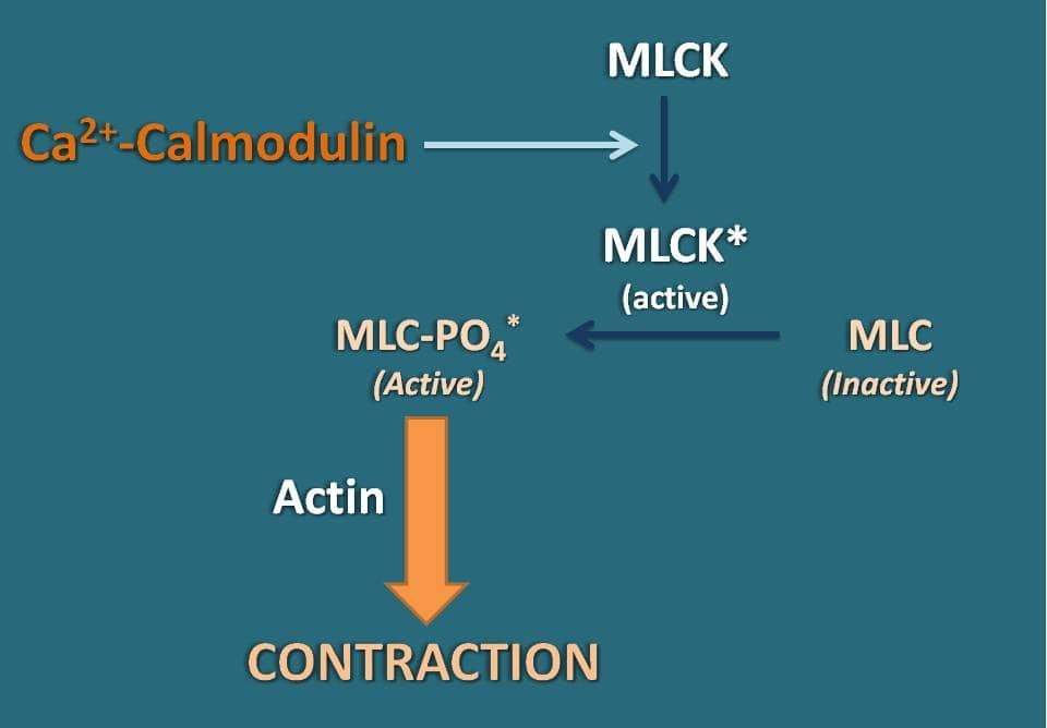 Effect of calcium on contraction