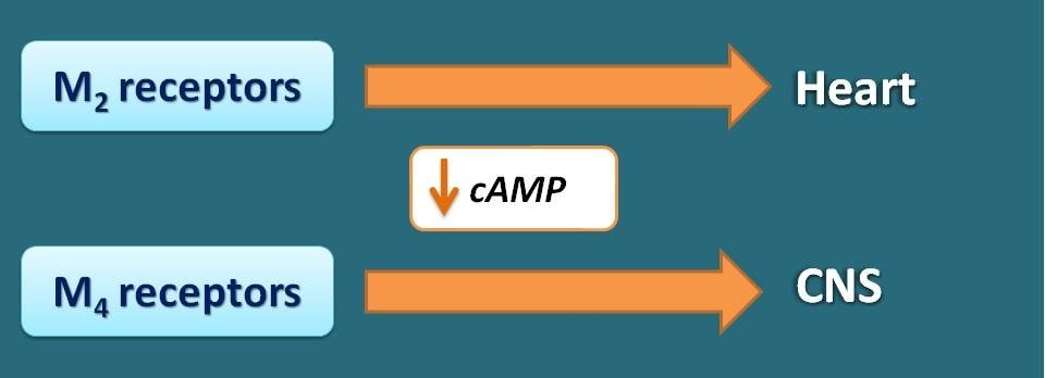 Decrease in cAMP associated with M2 and M4 receptors