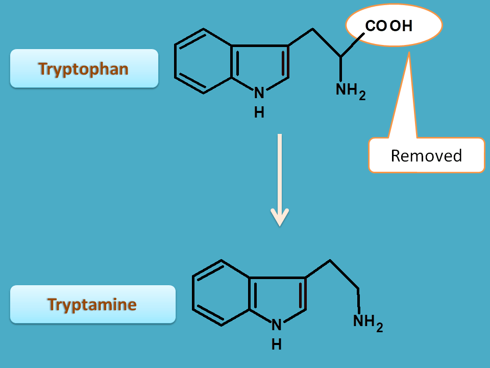 conversion of tryptophan to trypatmine