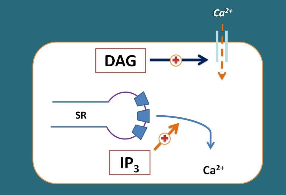 Role of IP3 and DAG on calcium