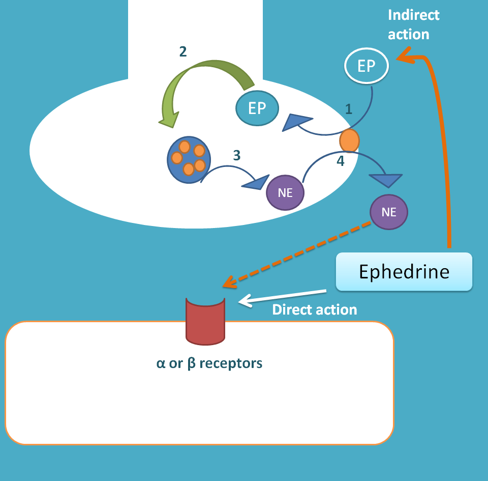 direct and indirect actions of ephedrine