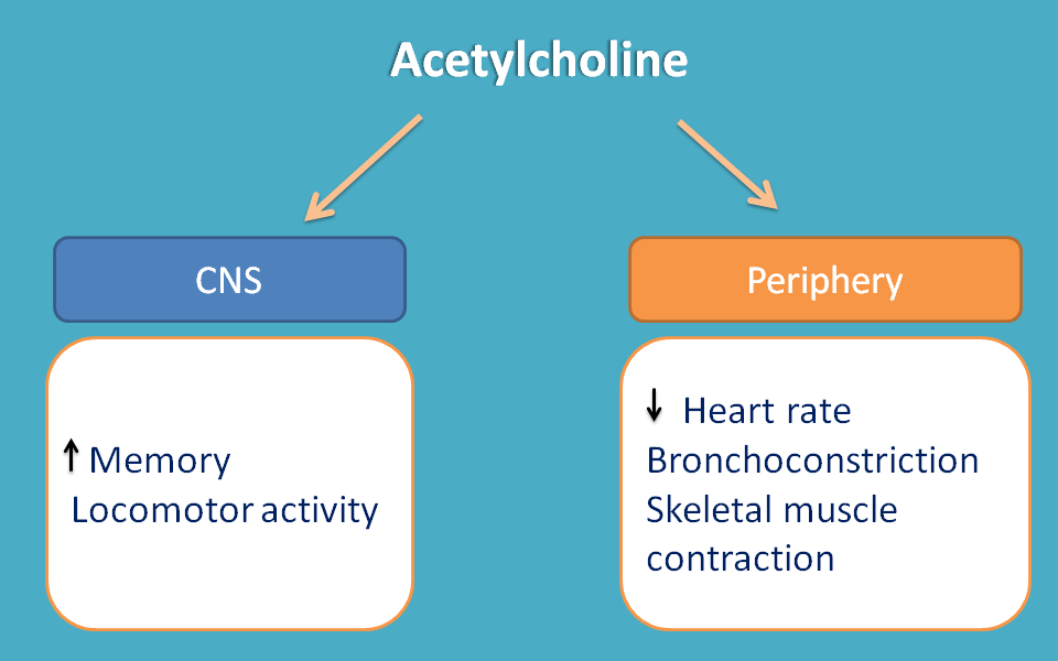 acetylcholine acts as mediator both in cns and periphery
