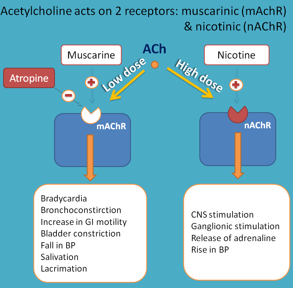 acetylcholine acting on two receptors