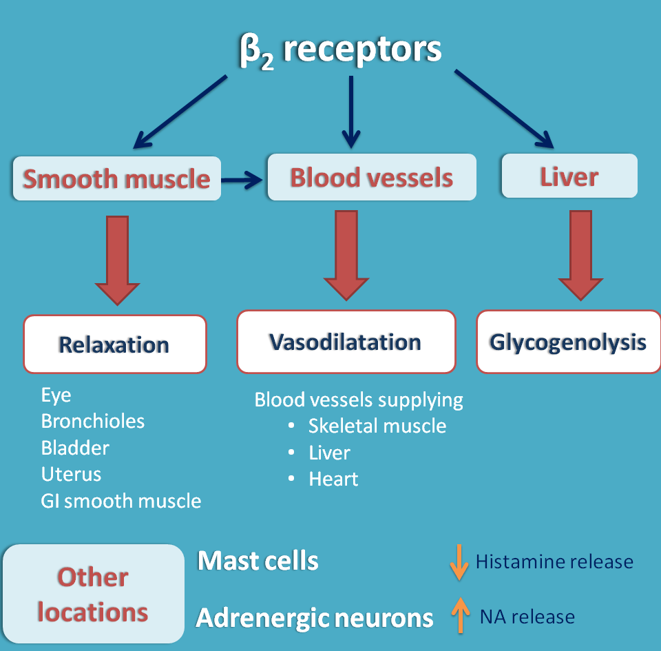 Beta adrenergic receptors