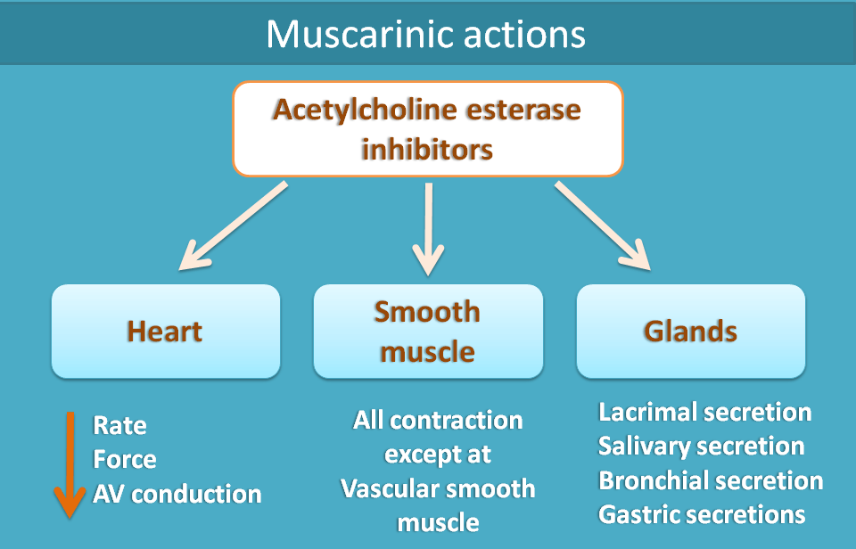 muscarinic actions of cholinesterase inhibitors