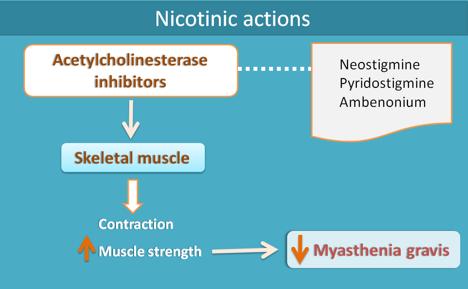 nicotinic actions of cholinesterase inhibitors