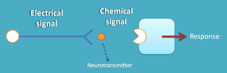 electical signal is converted in to chemical signal at synapse
