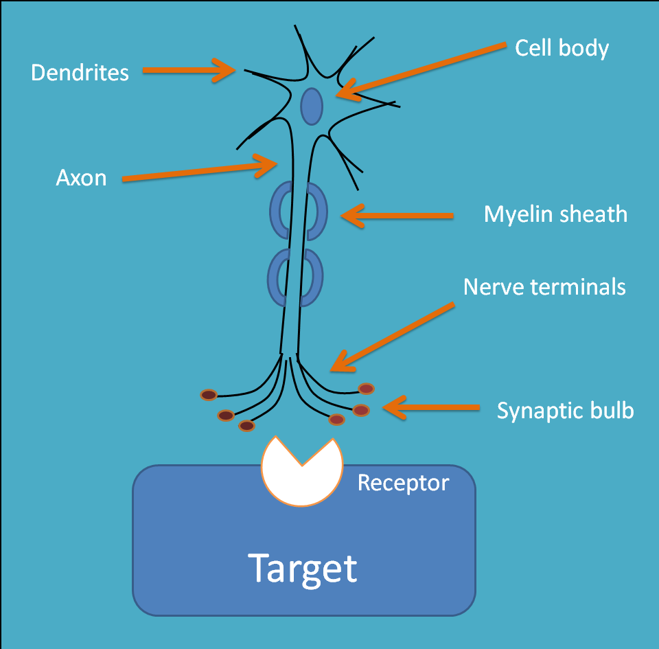 basic structure of neuron