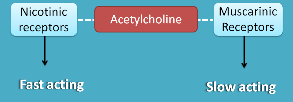 Acetylcholine acting as both fast and slow neurotransmitter