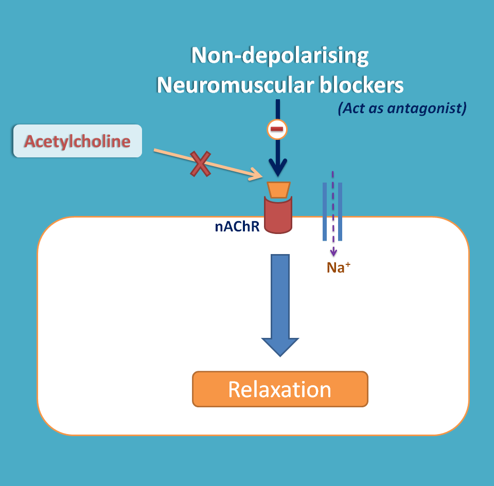 neuromuscular blockers essay Free essays on neuromuscular junction for students use our papers to help you with yours 1 - 30.
