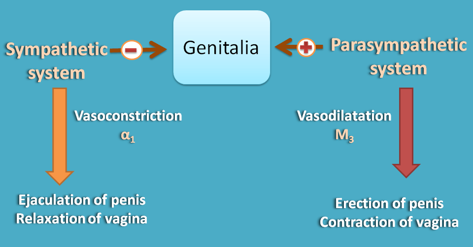 Opposite action of ANS divisions at genitalia