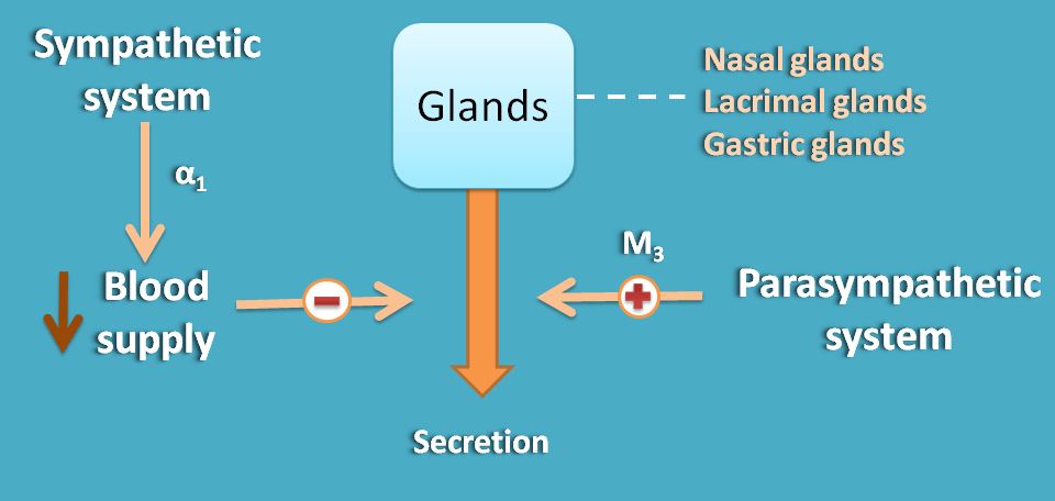 Opposite action of ANS divisions at glands