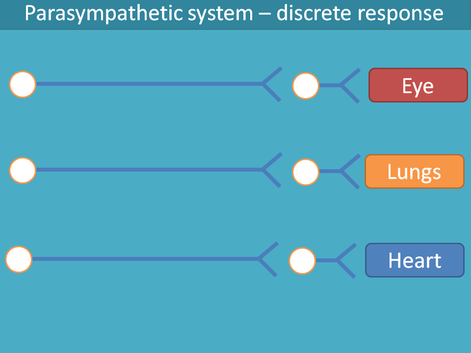parasympathetic system produces discrete response