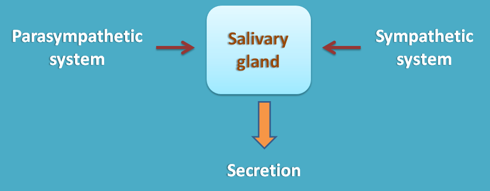 Similar effect of sympathetic and parasympathetic division at salivary glands
