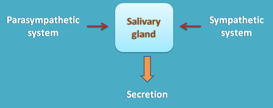 similar action of ANS divisions at salivary glands