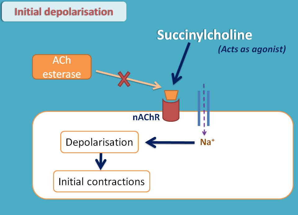 contraction phase by succinylcholine