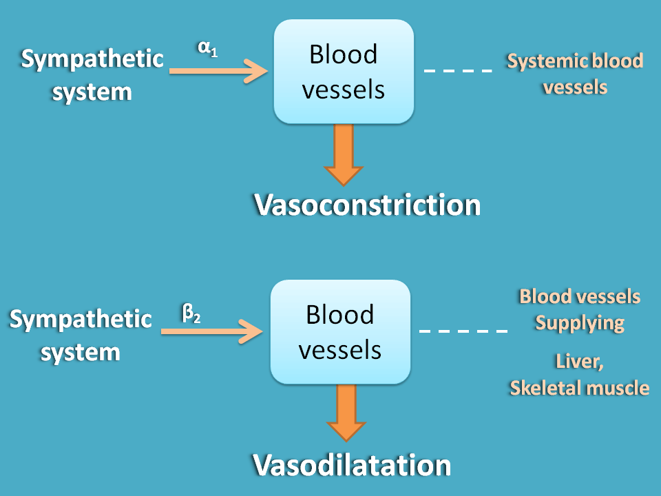 Only sympathetic innervation at blood vessels