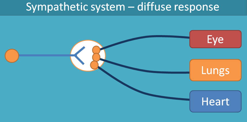 sympathetic system produces diffus response